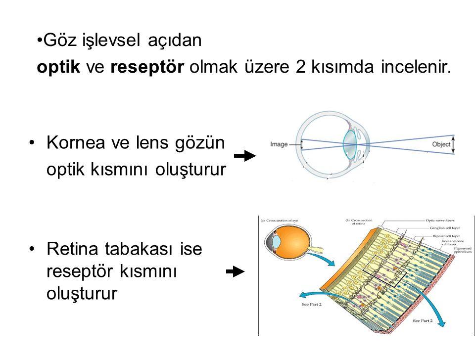 Göz işlevsel açıdan optik ve reseptör olmak üzere 2 kısımda incelenir. Kornea ve lens gözün. optik kısmını oluşturur.