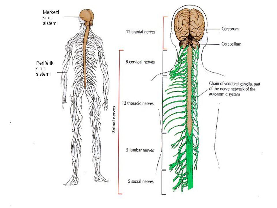 Merkezi sinir sistemi Periferik sinir sistemi