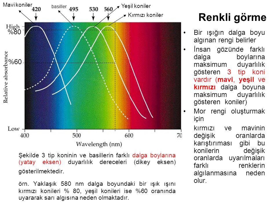 Mavi koniler basiller. Yeşil koniler. Kırmızı koniler. Renkli görme. %80. Bir ışığın dalga boyu algınan rengi belirler.