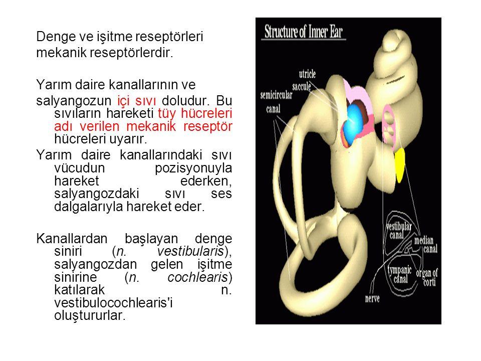 Denge ve işitme reseptörleri