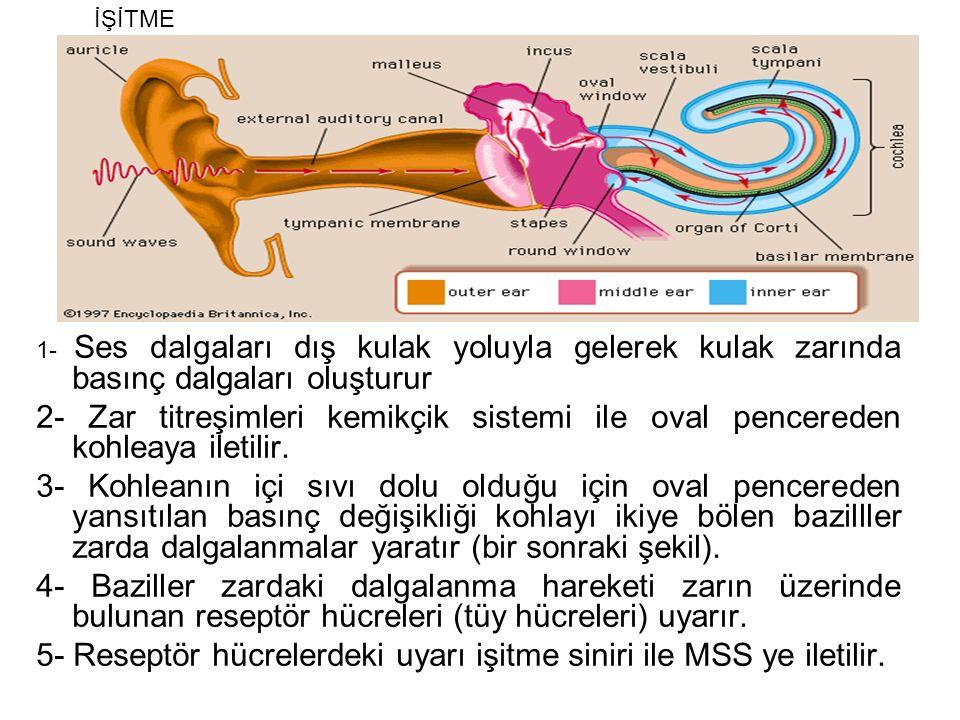 5- Reseptör hücrelerdeki uyarı işitme siniri ile MSS ye iletilir.