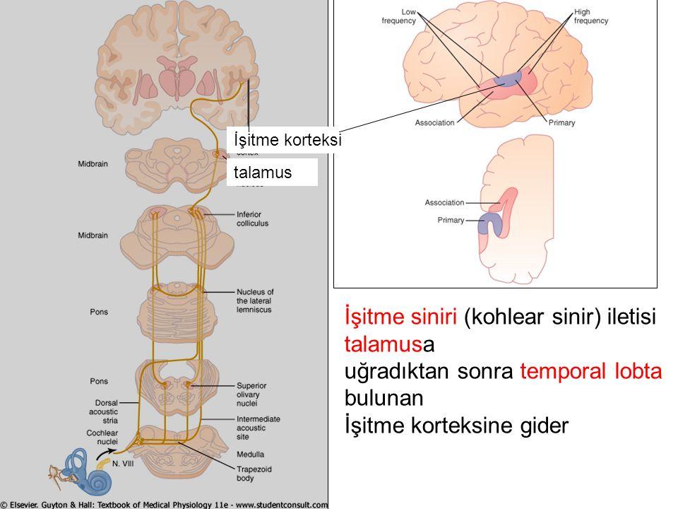 İşitme siniri (kohlear sinir) iletisi talamusa