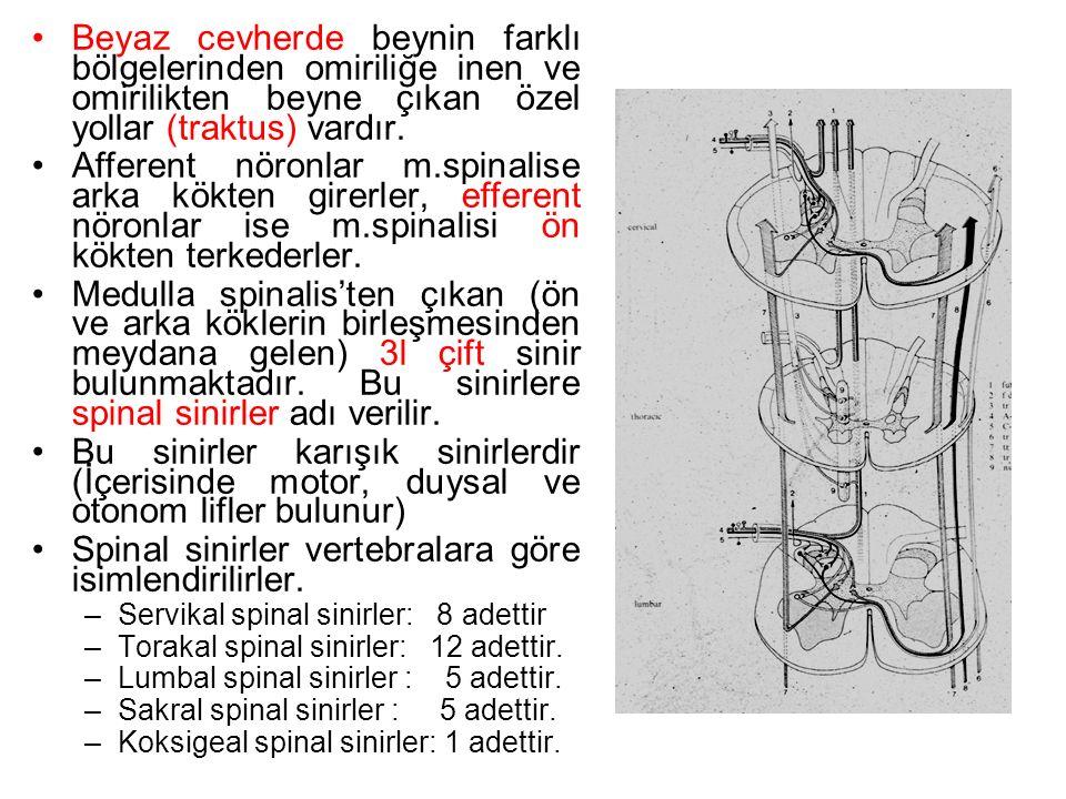 Spinal sinirler vertebralara göre isimlendirilirler.