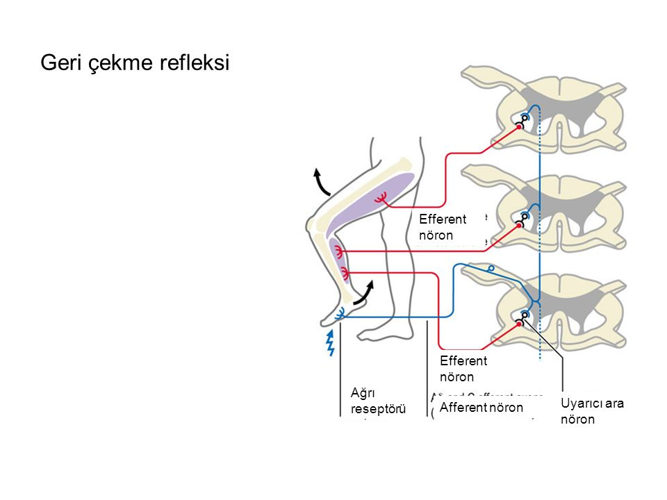 Geri çekme refleksi Efferent nöron Efferent nöron Ağrı reseptörü