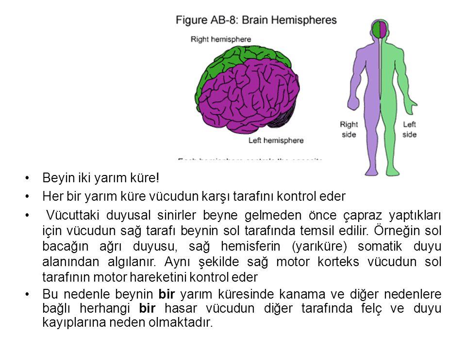 Beyin iki yarım küre! Her bir yarım küre vücudun karşı tarafını kontrol eder.