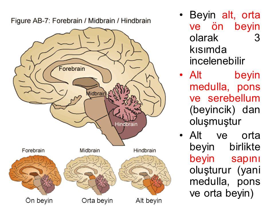 Beyin alt, orta ve ön beyin olarak 3 kısımda incelenebilir