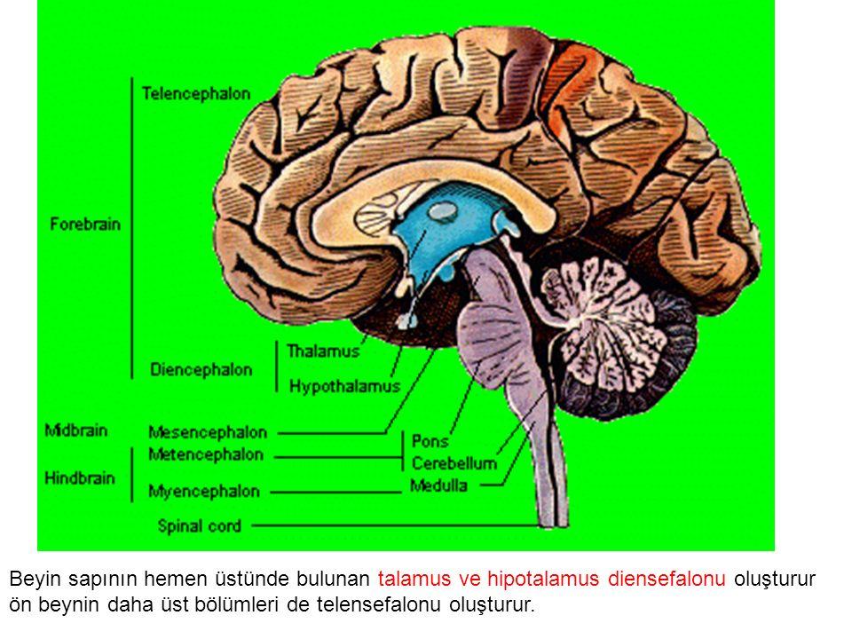 Beyin sapının hemen üstünde bulunan talamus ve hipotalamus diensefalonu oluşturur