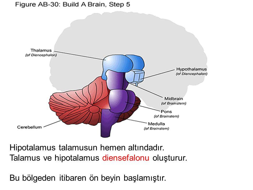 Hipotalamus talamusun hemen altındadır.
