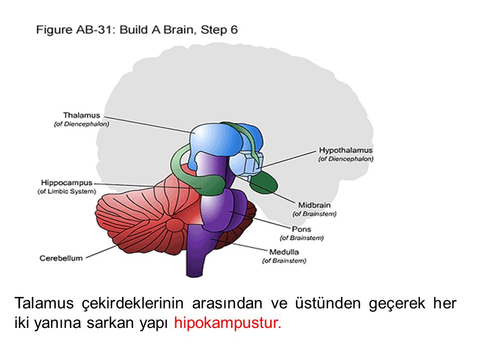 Talamus çekirdeklerinin arasından ve üstünden geçerek her iki yanına sarkan yapı hipokampustur.