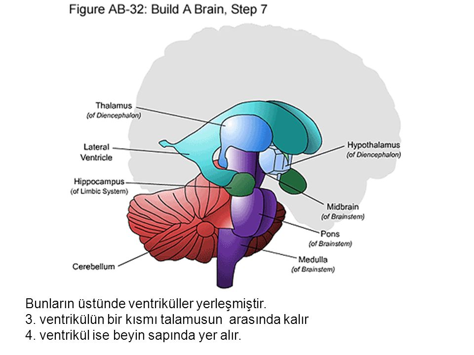 Bunların üstünde ventriküller yerleşmiştir.