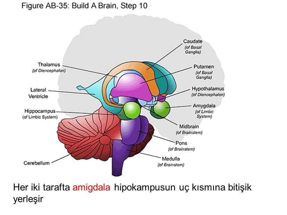 Her iki tarafta amigdala hipokampusun uç kısmına bitişik yerleşir