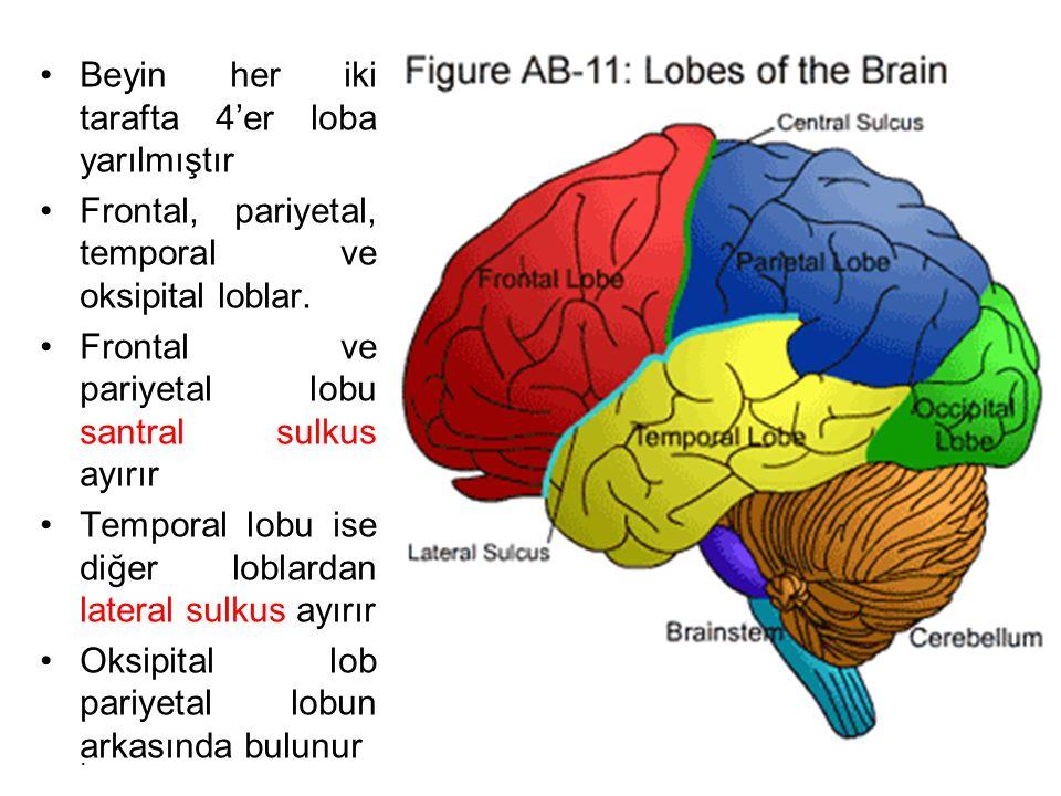 Beyin her iki tarafta 4'er loba yarılmıştır