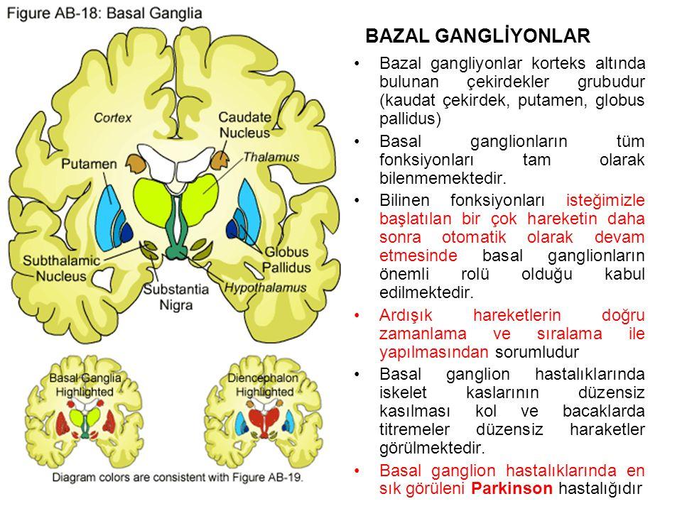 BAZAL GANGLİYONLAR Bazal gangliyonlar korteks altında bulunan çekirdekler grubudur (kaudat çekirdek, putamen, globus pallidus)