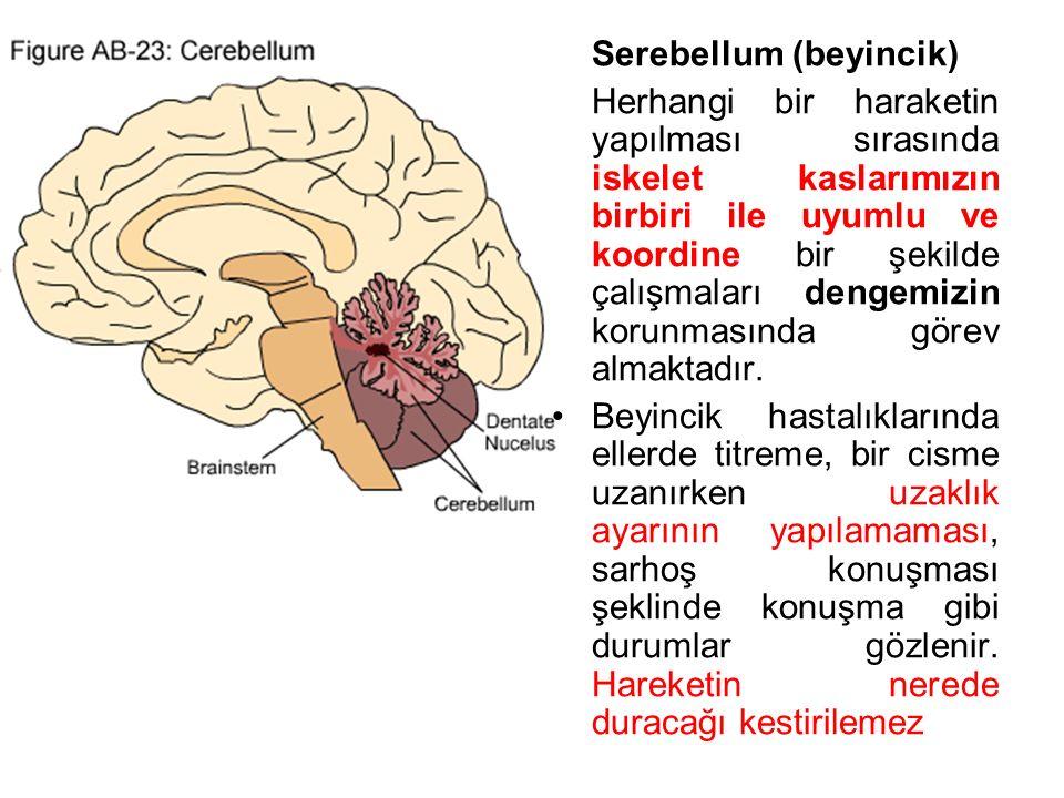 Serebellum (beyincik)