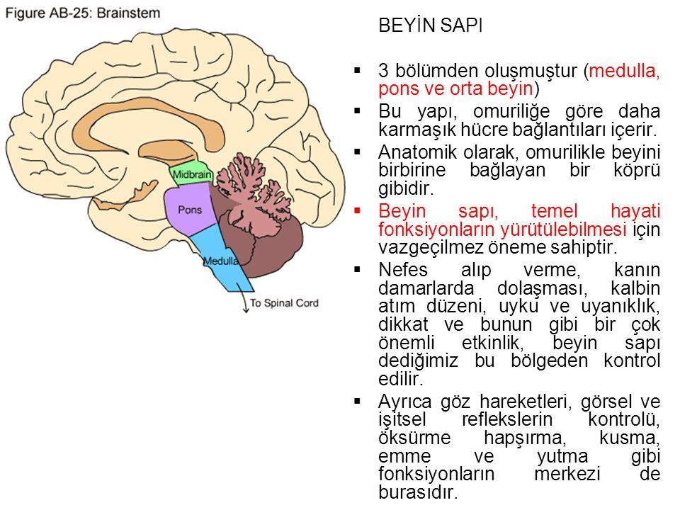 3 bölümden oluşmuştur (medulla, pons ve orta beyin)