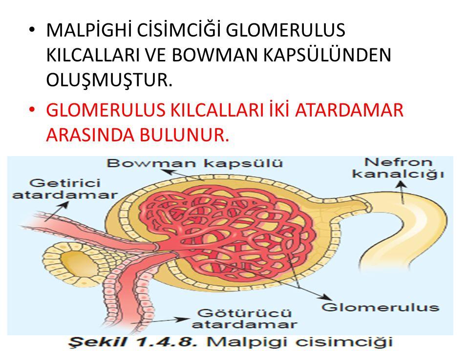 GLOMERULUS KILCALLARI İKİ ATARDAMAR ARASINDA BULUNUR.