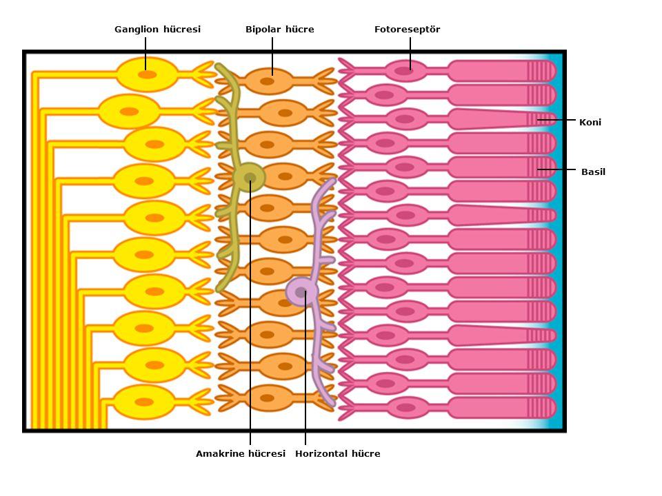 Ganglion hücresi Bipolar hücre Fotoreseptör Koni Basil Amakrine hücresi Horizontal hücre
