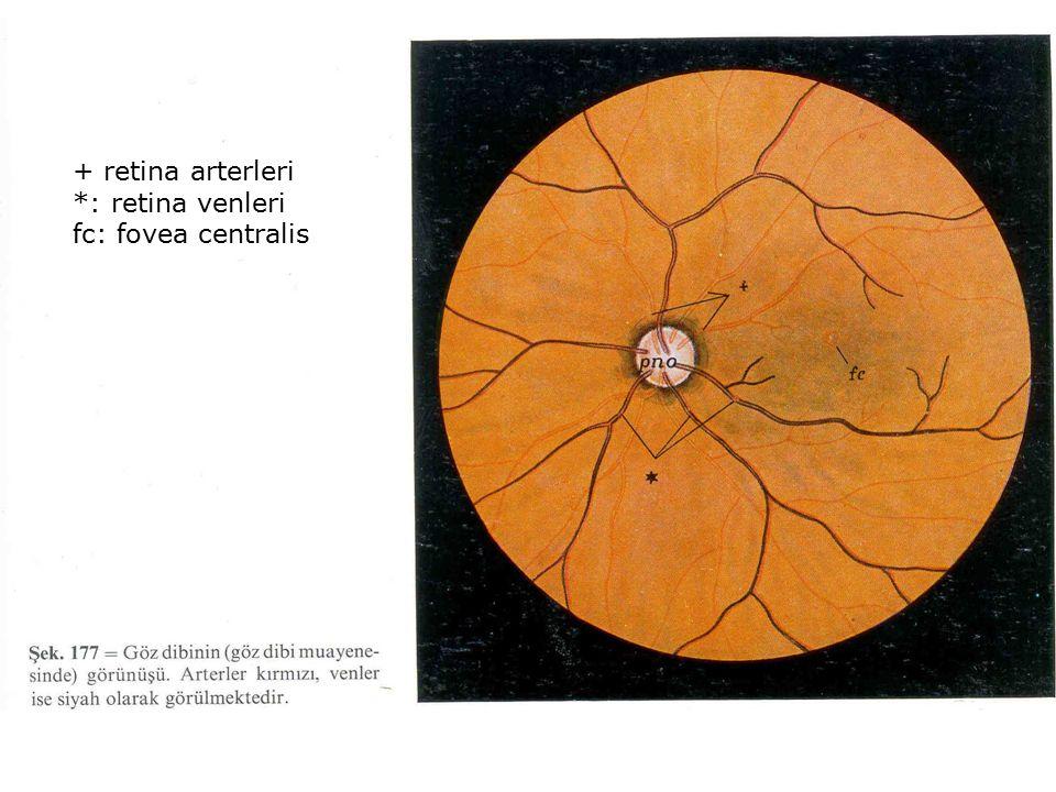 + retina arterleri *: retina venleri fc: fovea centralis