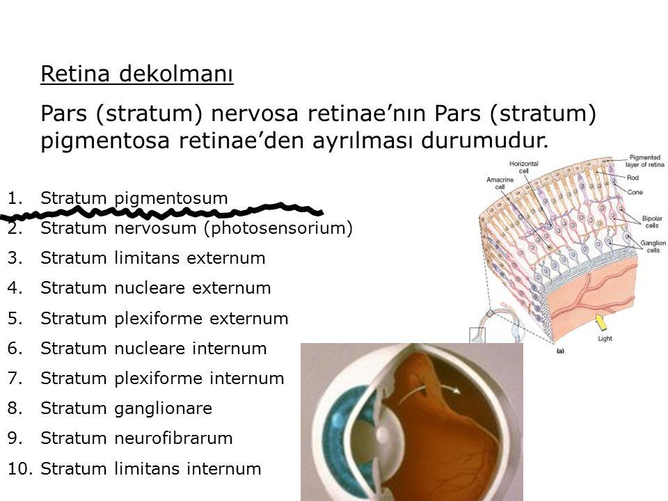 Retina dekolmanı Pars (stratum) nervosa retinae'nın Pars (stratum) pigmentosa retinae'den ayrılması durumudur.