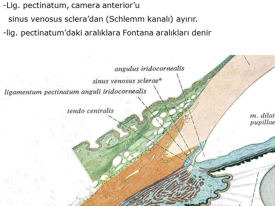 -Lig. pectinatum, camera anterior'u