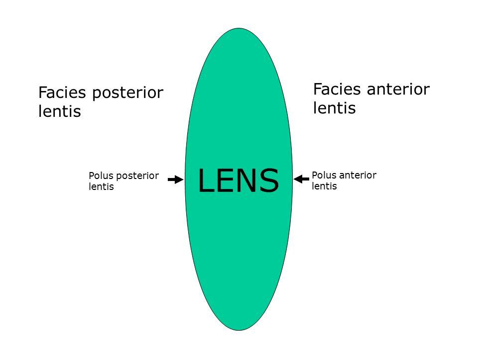LENS Facies anterior lentis Facies posterior lentis Polus posterior