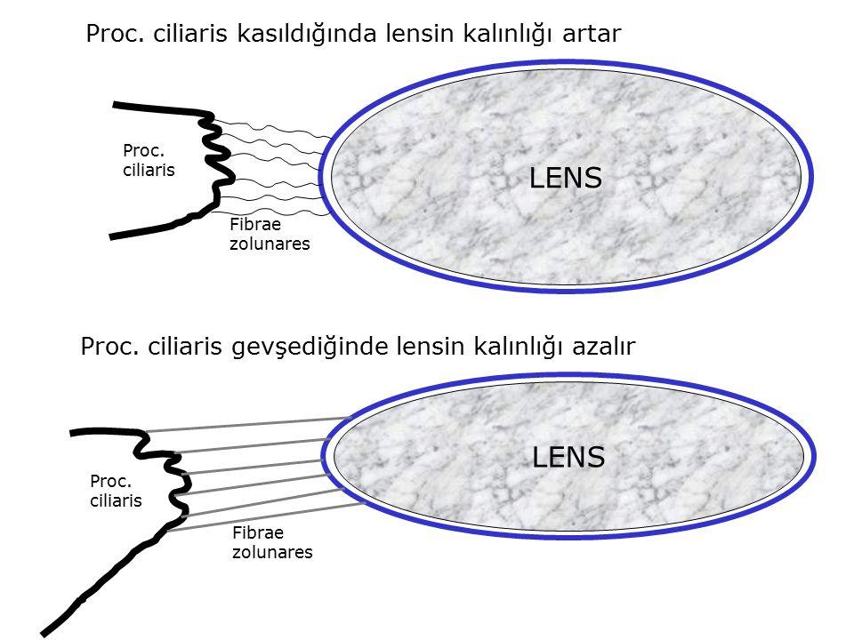 LENS LENS Proc. ciliaris kasıldığında lensin kalınlığı artar