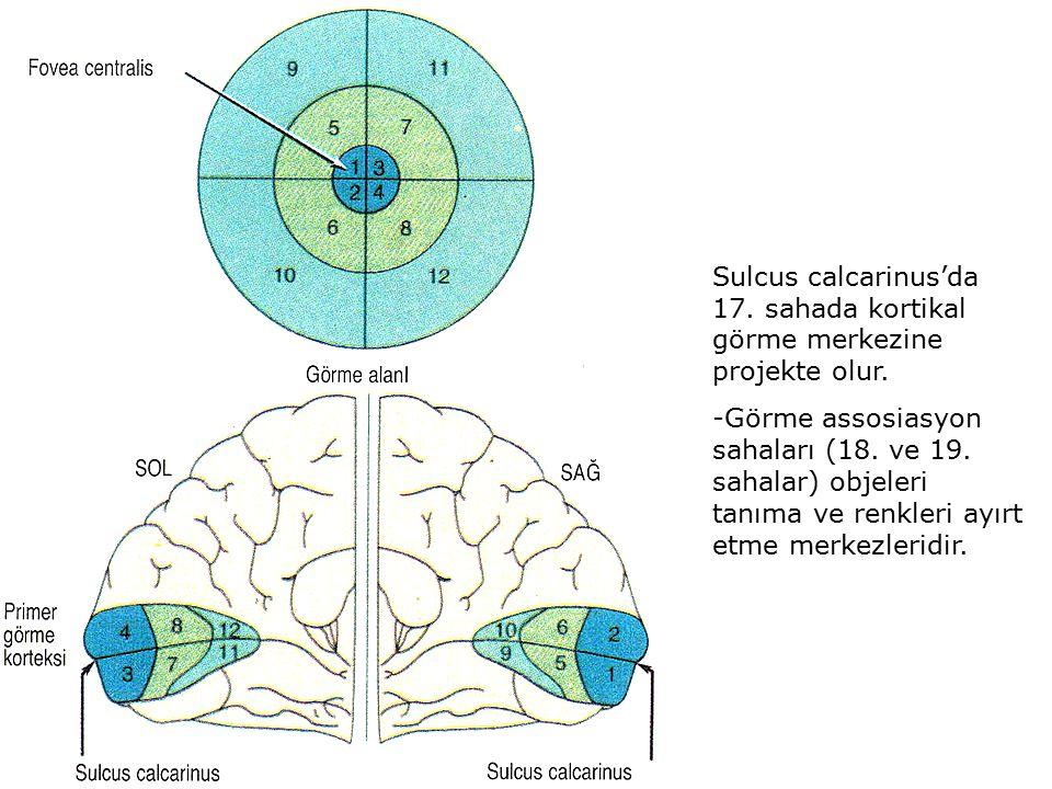 Sulcus calcarinus'da 17. sahada kortikal görme merkezine projekte olur.
