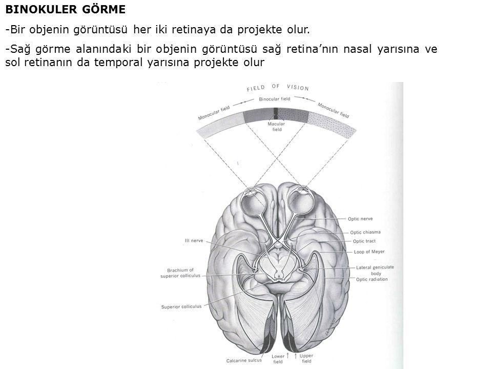 BINOKULER GÖRME -Bir objenin görüntüsü her iki retinaya da projekte olur.
