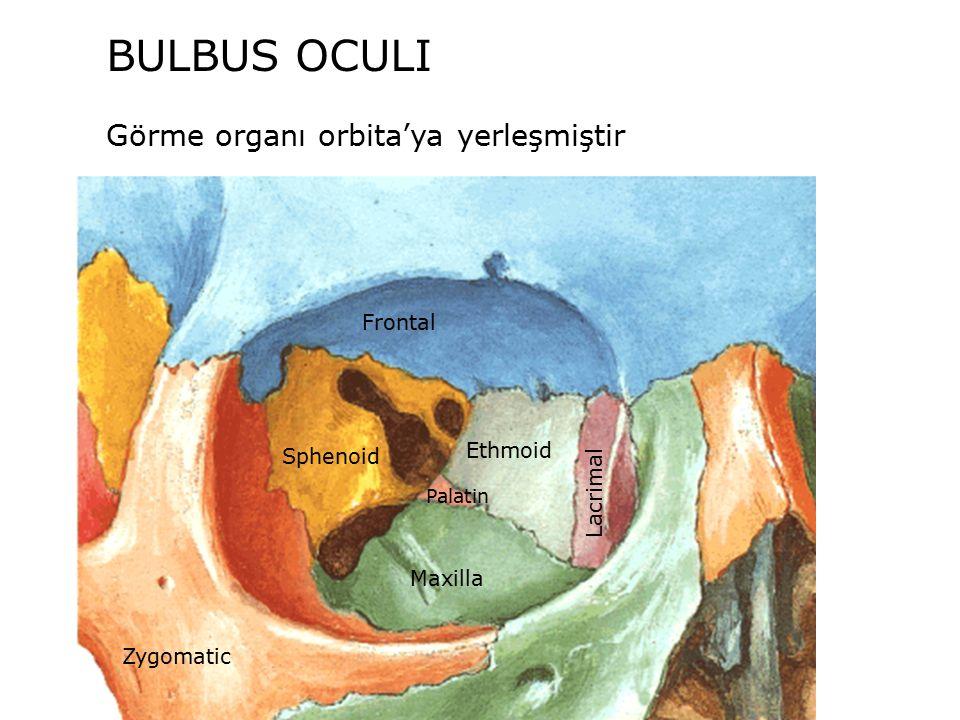 BULBUS OCULI Görme organı orbita'ya yerleşmiştir Frontal Ethmoid