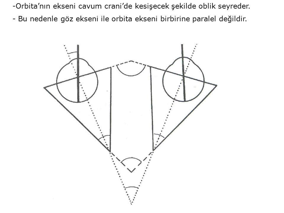 -Orbita'nın ekseni cavum crani'de kesişecek şekilde oblik seyreder.
