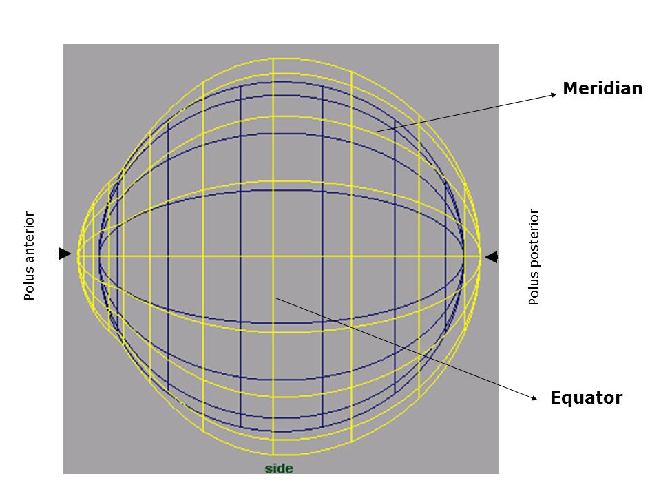 Meridian Polus anterior Polus posterior Equator