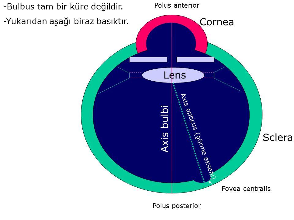 Cornea Lens Axis bulbi Sclera -Bulbus tam bir küre değildir.