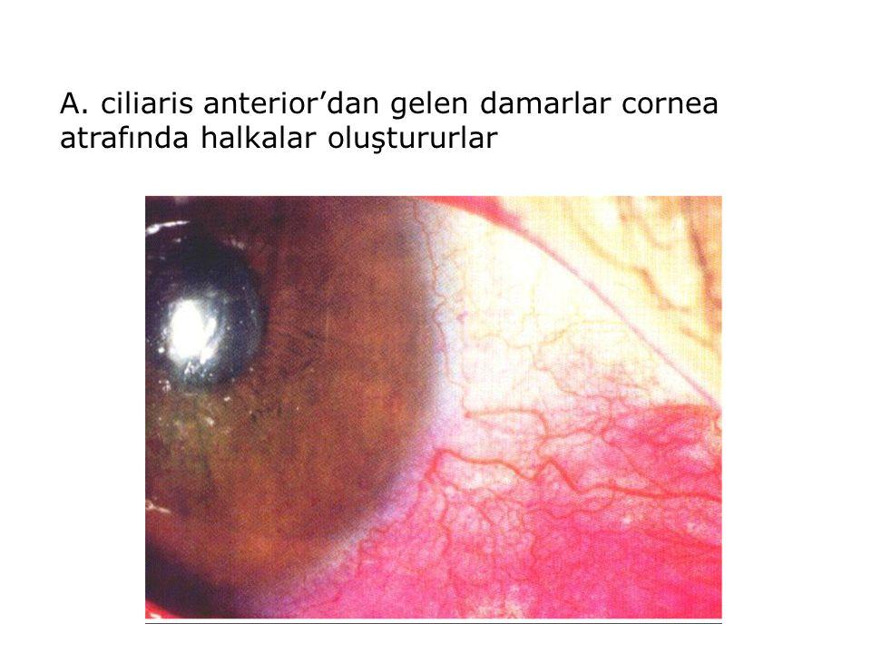 A. ciliaris anterior'dan gelen damarlar cornea atrafında halkalar oluştururlar