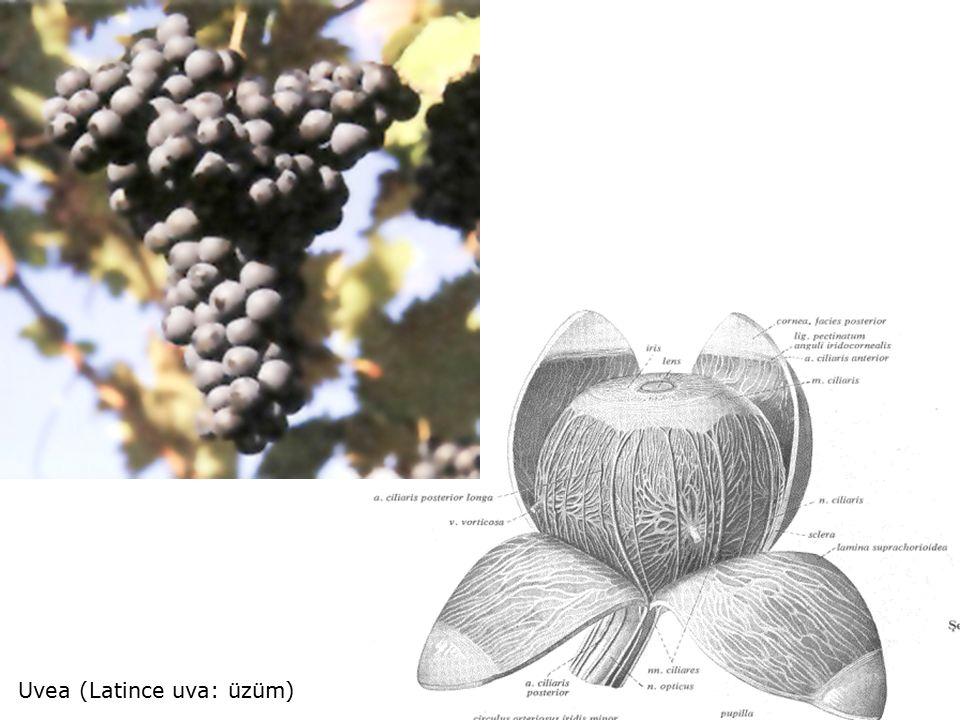 Uvea (Latince uva: üzüm)