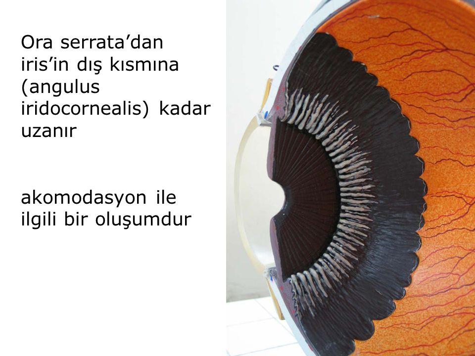Ora serrata'dan iris'in dış kısmına (angulus iridocornealis) kadar uzanır