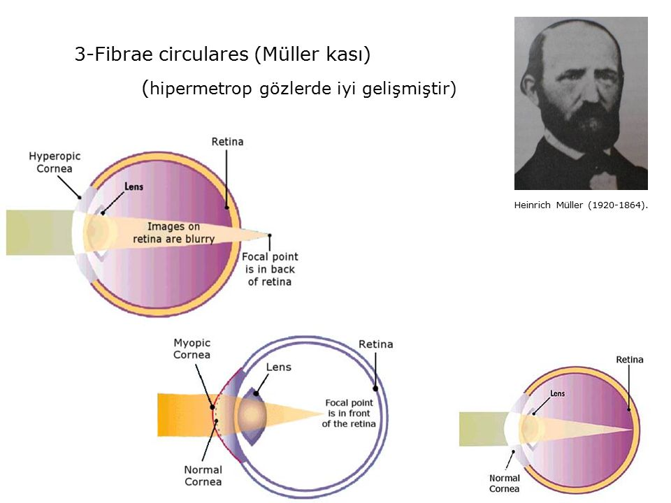 3-Fibrae circulares (Müller kası)