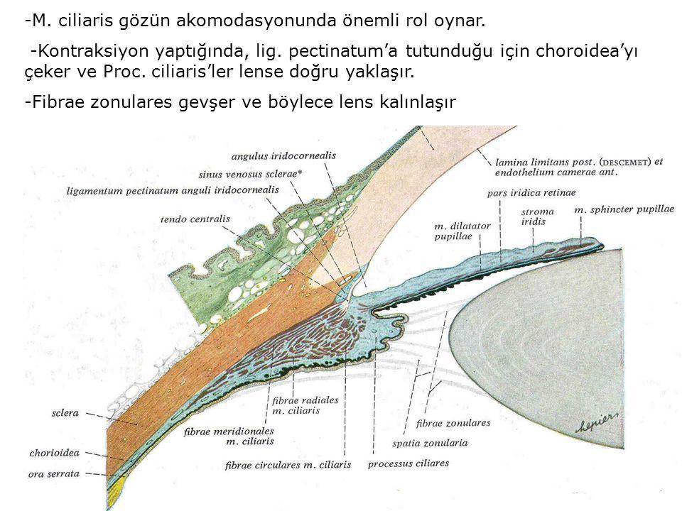 -M. ciliaris gözün akomodasyonunda önemli rol oynar.