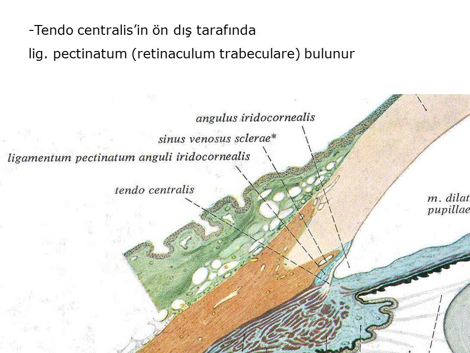 Tendo centralis'in ön dış tarafında