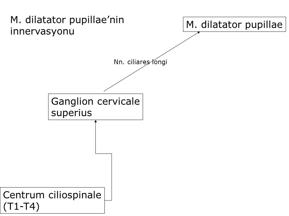 M. dilatator pupillae'nin innervasyonu M. dilatator pupillae