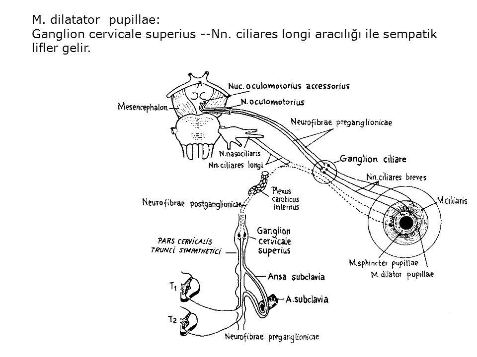 M. dilatator pupillae: Ganglion cervicale superius --Nn.