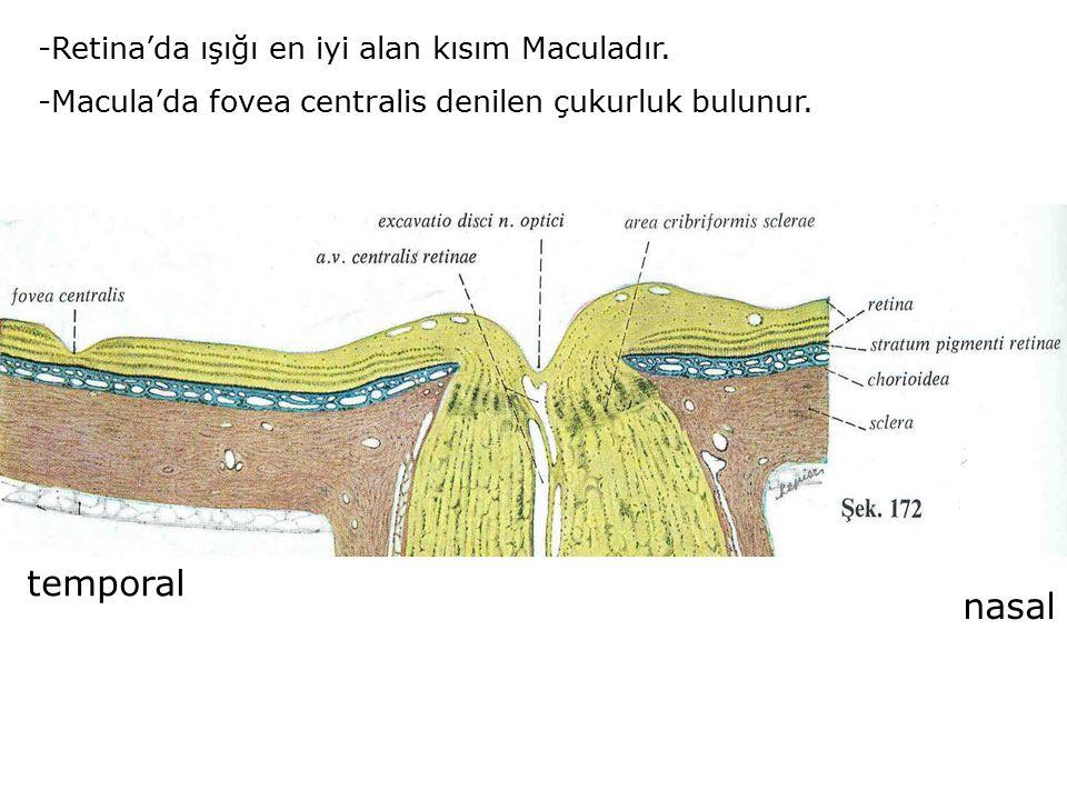 temporal nasal -Retina'da ışığı en iyi alan kısım Maculadır.