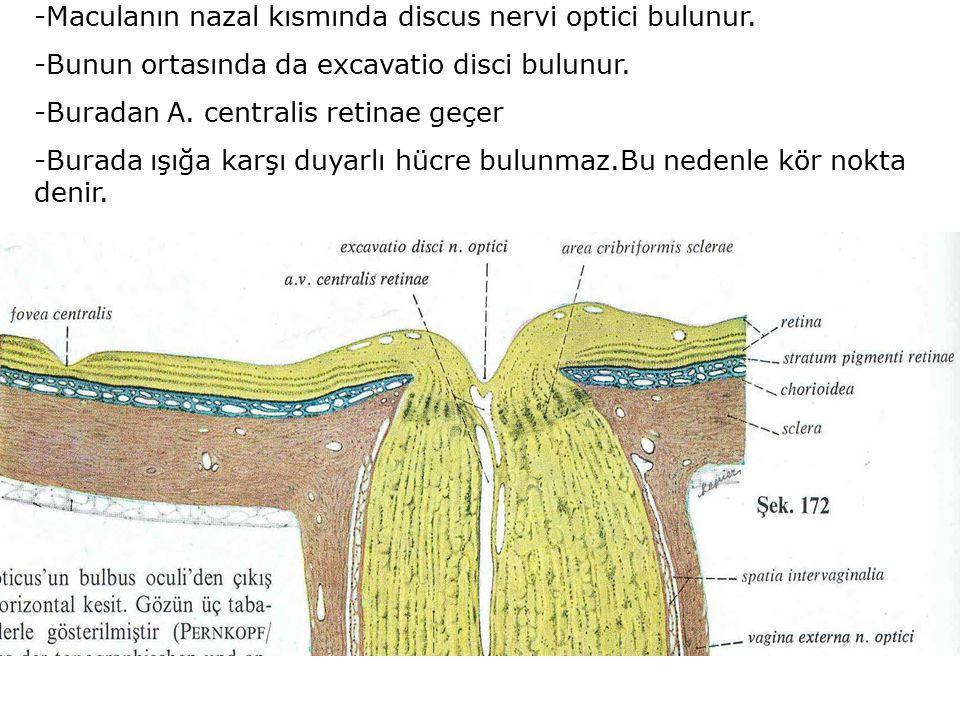 -Maculanın nazal kısmında discus nervi optici bulunur.