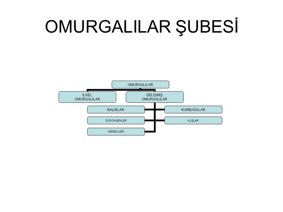 OMURGALILAR ŞUBESİ