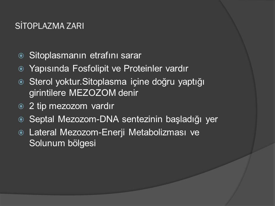 SİTOPLAZMA ZARI Sitoplasmanın etrafını sarar. Yapısında Fosfolipit ve Proteinler vardır.
