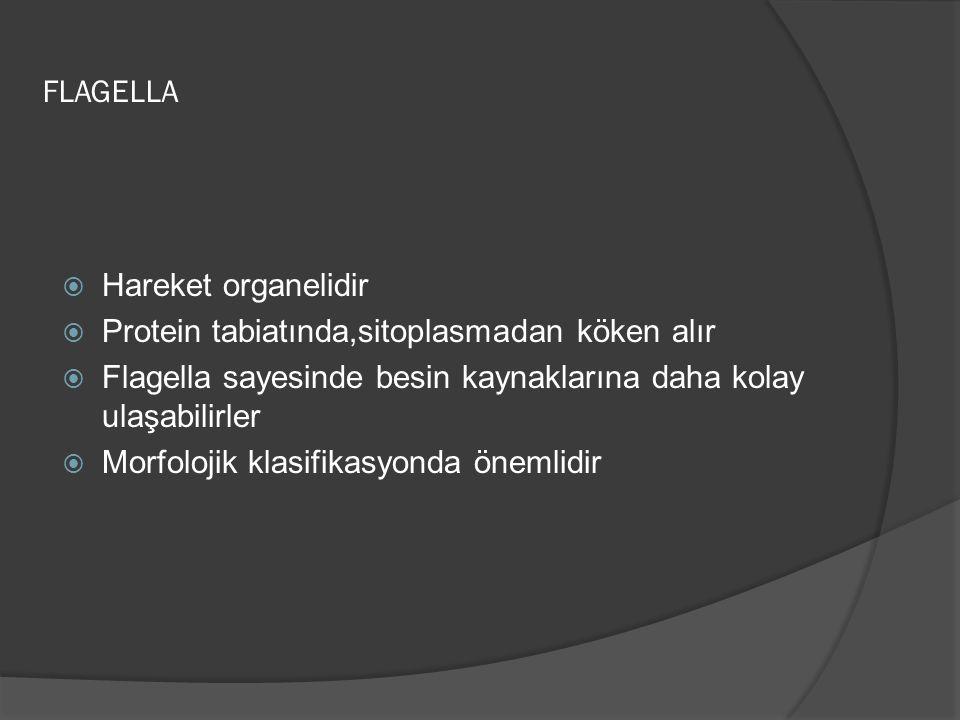 FLAGELLA Hareket organelidir. Protein tabiatında,sitoplasmadan köken alır. Flagella sayesinde besin kaynaklarına daha kolay ulaşabilirler.