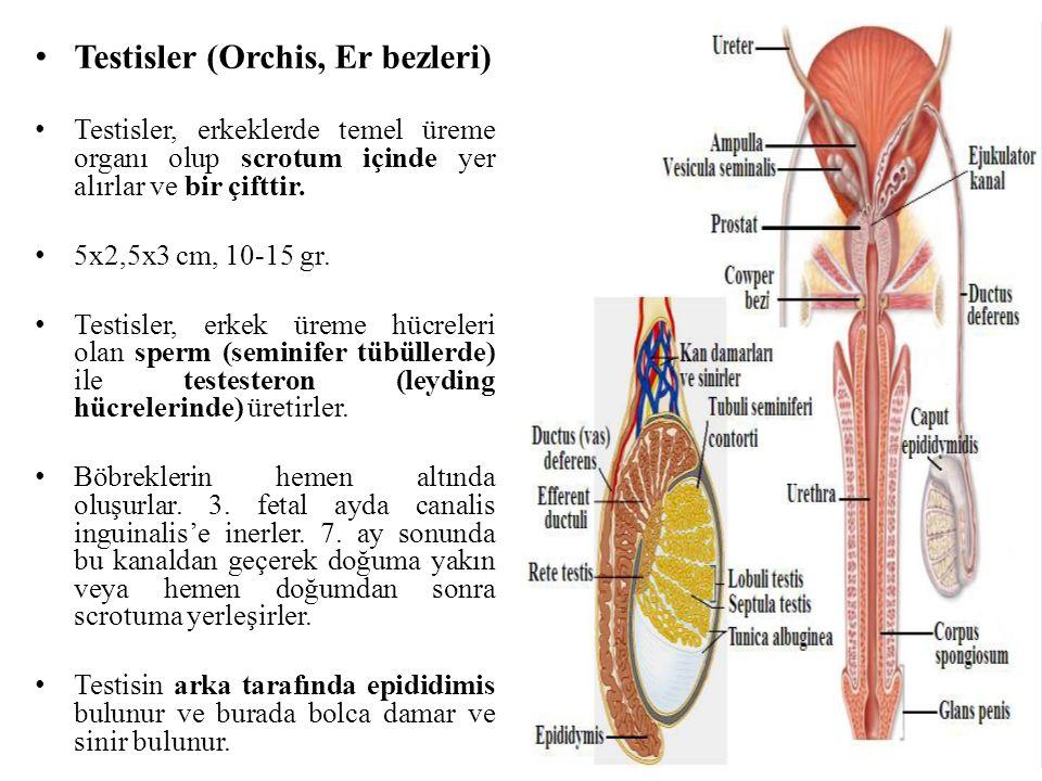 Testisler (Orchis, Er bezleri)