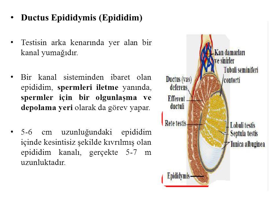Ductus Epididymis (Epididim)