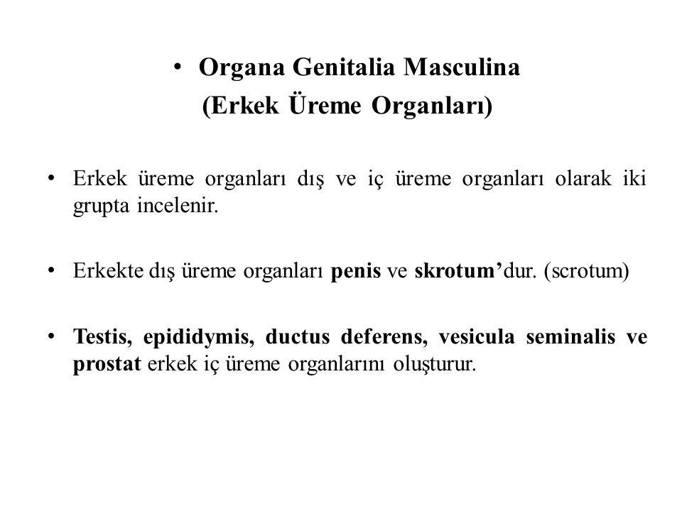 Organa Genitalia Masculina (Erkek Üreme Organları)