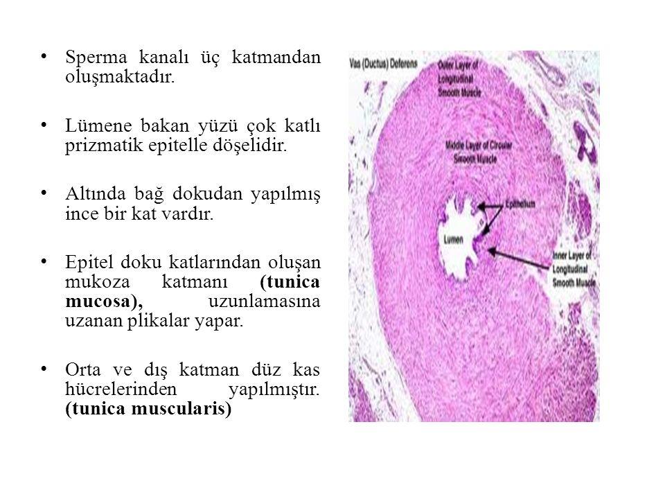 Sperma kanalı üç katmandan oluşmaktadır.