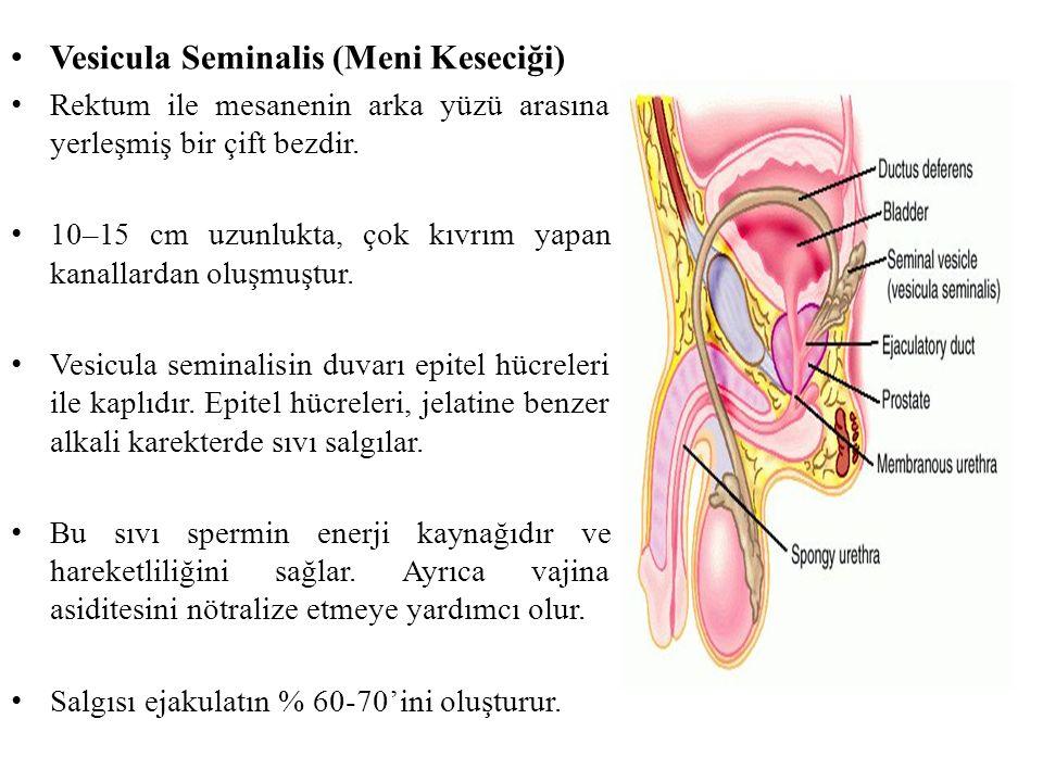 Vesicula Seminalis (Meni Keseciği)